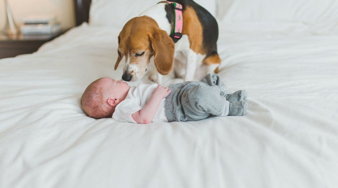 beagle dog sniffing newborn baby on bed